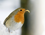 Eating Entomology Photo Posters - European Robin Feeding On A Mealworm Poster by Duncan Shaw