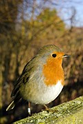 Gloucestershire Prints - European Robin Perched On A Wooden Fence Print by Duncan Shaw