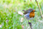 Biological Prints - European Robin Print by Photostock-israel