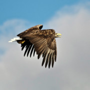 Fauna - European Sea Eagle by Heiko Koehrer-Wagner