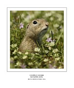 Ground Framed Prints - European Souslik Framed Print by Owen Bell