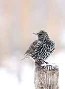 Starlings Metal Prints - European Starling Metal Print by Jack R Brock