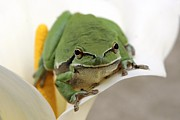 Anuran Art - European Tree Frog by Photostock-israel