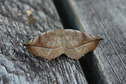 Sean Green - Eutrapela clemataria