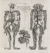 Evelyn Prints - Evelyn Table Blood Vessels, 17th Century Print by Middle Temple Library