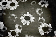 Black And White Flowers Posters - Even in Darker Days Poster by Laurie Search