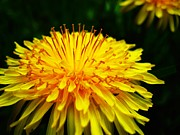 Colorful Dandelions Photos - Even Weeds by Toni Jackson