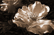 Umber Metal Prints - Evening Glow Sepia Rose Metal Print by Jennie Marie Schell