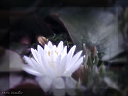 The Lotus Flower Prints - Evening Light Print by Debra     Vatalaro