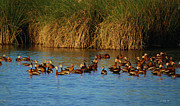 Secretive Birds Posters - Evening Light on Black Bellied Whistling Ducks Poster by Roena King