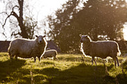 Sheep Prints - Evening on the meadow Print by Angel  Tarantella