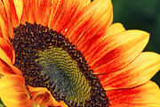 Fiery Posters - Evening Sun Sunflower Poster by Sharon  Talson