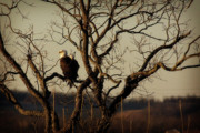 Eagle Metal Prints - Evening Watch Metal Print by Lana Trussell