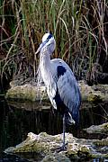 Marty Koch Framed Prints - Everglades Heron Framed Print by Marty Koch