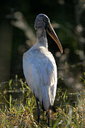 Cypress - Everglades Wood Stork by Juergen Roth