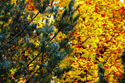 Fall Colors Autumn Colors Posters - Evergreen and Maple Poster by Scott Hovind