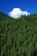 Tree Tops Posters - Evergreen Forest Poster by Natural Selection Craig Tuttle