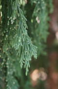 Juniper Photos - Evergreen by Linda Knorr Shafer
