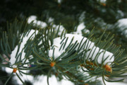 Pine Needles Prints - Evergreen Print by Oriyan Phipps