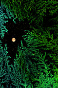 Forest At Night Prints - Evergreen Print by Paul St George