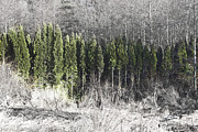 Fir Trees Prints - Evergreen Row Print by Barbara  White