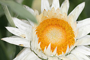 Strawflower Photos - Everlasting Flower by Dr Keith Wheeler