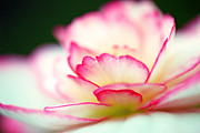 Begonia Photos - Every Moment... by Melanie Moraga