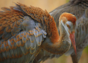 Sandhill Crane Photos - Evolving Sandhill Crane Beauty by Carol Groenen