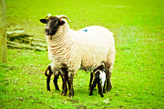 Lambing Metal Prints - Ewe and lambs Metal Print by Tom Gowanlock