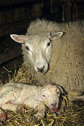 Lambing Metal Prints - Ewe And New Born Lamb Metal Print by David Aubrey