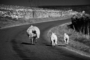 Scared Framed Prints - Ewe And Two Lambs Running Down A Road In The Derbyshire Dales Peak District National Park England Uk Framed Print by Joe Fox