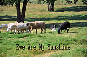 Ewes Framed Prints - Ewe Are My Sunshine Framed Print by Jan Amiss Photography