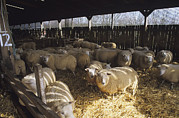 Lambing Metal Prints - Ewes Metal Print by David Aubrey