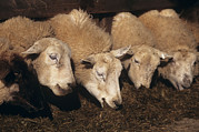 Lambing Metal Prints - Ewes Feeding Metal Print by David Aubrey