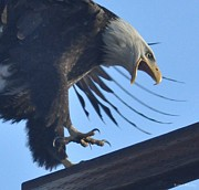 Pictures Photo Originals - Excited Eagle by Brent Easley