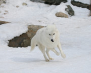 Arctic Wolf Photos - Exit Stage Right by Gerry Sibell