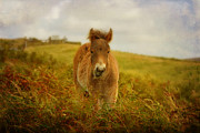 Exmoor Wild Pony Print by Carla Parris