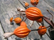 Seedpods Photos - Exotic Seedpods by Yali Shi