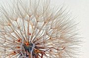Macro Flower Prints - Exploring Wispy  Print by Steve Harrington