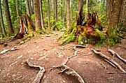 Forest Floor Prints - Exposed roots Print by Emilio Lovisa