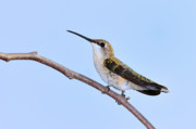 Ruby-throated Hummingbird Photos - Exquisite by Betty LaRue