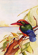 Extinct Bird Prints - Extinct Birds The Kingfisher Print by Debbie McIntyre