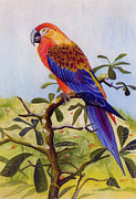 Macaw Painting Framed Prints - Extinct Birds The Macaw or Parrot Framed Print by Debbie McIntyre