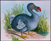 Dodo Bird Framed Prints - Extinct Dodo Framed Print by George Bernard
