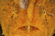 Muck Prints - Extreme Close-up Of An Orange Frogfish Print by Mathieu Meur