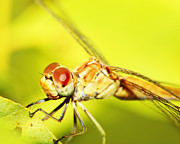 Dragon Fly Posters - Extreme closeup on dragonfly eyes Poster by Anna Omelchenko
