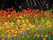 Texas Wildflowers Posters - Exuberant Spring Poster by Joe JAKE Pratt