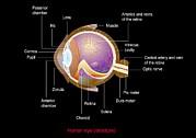 Eye Anatomy,artwork Print by Francis Leroy, Biocosmos