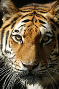 Tiger Photos - Eye Contact by Ernie Echols