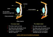 Process Posters - Eye Lens And Accommodation, Diagram Poster by Francis Leroy, Biocosmos